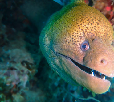 Yet ANOTHER Reason Not to Eat Moray Eels!